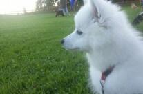 Aura spanar nyfiket på när de andra hundarna ringtränar