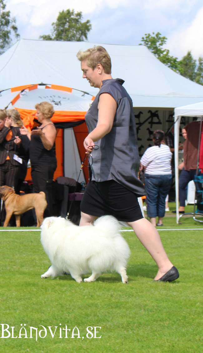 Japanese Spitz Hiro in the ring